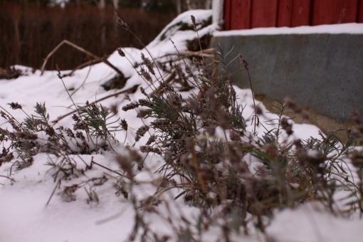 vinterlavendel