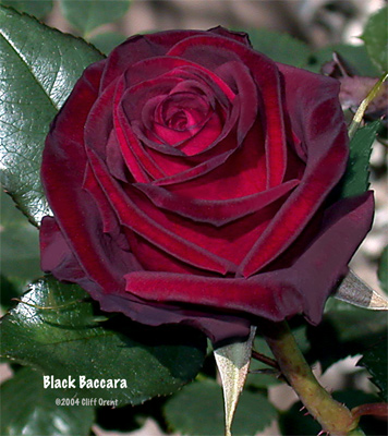 blackbaccara